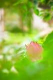 för blommagreen för bakgrund blomma lotusblomma Arkivbilder