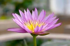 för blommalotusblomma för bakgrund härlig natur Arkivbilder