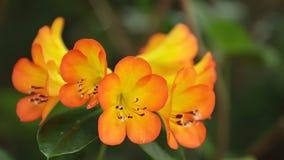 För blommamateriel för rhododendron orange längd i fot räknat arkivfilmer