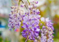 För blommamor för Wisteria chinensis salkim i medelhavs- region arkivbilder