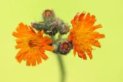 För blommaoder för orange Hawkweed aurantiaca Pilosella Royaltyfri Bild