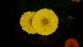 för blommapar för ringblomma gul härlig blomma royaltyfria bilder