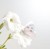 för blommapetunia för fjäril rutig white arkivfoton