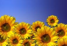 för blommasky för bakgrund blåa solrosor Arkivfoto