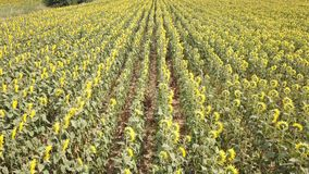 för blommasolrosor för fält blom- yellow Underbart lantligt landskap av solrosfältet i solig dag Flyg- sikt för surr lager videofilmer