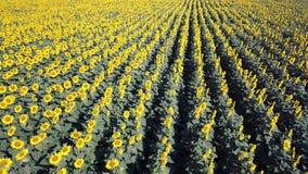 för blommasolrosor för fält blom- yellow Underbart lantligt landskap av solrosfältet i solig dag Flyg- sikt för surr arkivfilmer