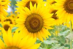 för blommasolrosor för fält blom- yellow Royaltyfria Bilder