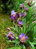 F?r blommatr?dg?rd f?r tv? signal som iris ?r purpurf?rgad och som ?r bl? efter regnet royaltyfri fotografi