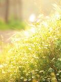 För blommavår för lös kamomill soligt fält Royaltyfri Fotografi