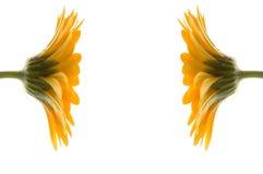 för blommor yellow två tillsammans Arkivbild