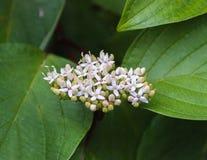 _2 för blomningsnowberry (Symphoricarpos) Arkivfoton