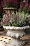 För blomningväxt för Calluna vulgaris Ericaceae för familj i den härliga keramiska blommakrukan royaltyfri bild