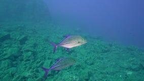 För Bluefin Caranxmelampygus trevally i den Sanbenedicto ön från den Revillagigedo skärgården stock video