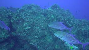 För Bluefin Caranxmelampygus trevally i den Sanbenedicto ön från den Revillagigedo skärgården arkivfilmer