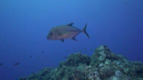 För Bluefin Caranxmelampygus trevally i den Sanbenedicto ön från den Revillagigedo skärgården lager videofilmer