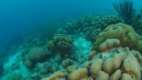 För Bonaire för karibiskt hav för korallliv undervattens- dyka video 1080P ö arkivfilmer