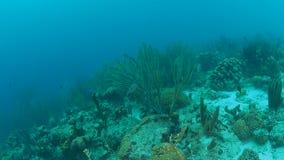 För Bonaire för karibiskt hav för korallliv undervattens- dyka video 1080P ö stock video