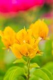 För bougainvilleablomma för närbild orange bakgrund Arkivfoton