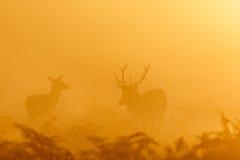 För brunstfullvuxen hankronhjort för röda hjortar som elaphus för Cervus rundar upp kvinnliga hindar Fotografering för Bildbyråer