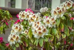 """För brunt, gul och ljus för härlig färgrik †""""rosa rhododendron för vit, blommar royaltyfri foto"""