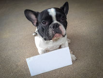 För bruntbakgrund för fransk bulldogg markör för vitt bräde Arkivbild