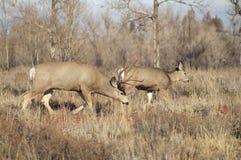 För Buck Leading His Female Family för mulahjortar grässlätt Wildli vinter Arkivfoto