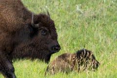 ` För buffel för bison` amerikansk i South Dakota arkivfoto