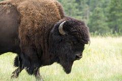 ` För buffel för bison` amerikansk i South Dakota fotografering för bildbyråer