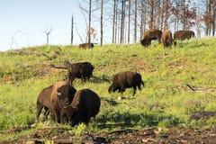 ` För buffel för bison` amerikansk i South Dakota arkivbilder
