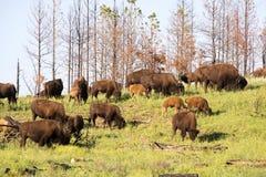 ` För buffel för bison` amerikansk i South Dakota royaltyfria bilder