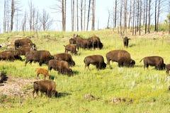 ` För buffel för bison` amerikansk i South Dakota royaltyfri foto