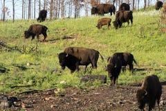 ` För buffel för bison` amerikansk i South Dakota arkivfoton