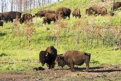 ` För buffel för bison` amerikansk i South Dakota arkivbild