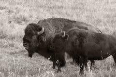 ` För buffel för bison` amerikansk i Yellowstone royaltyfria bilder