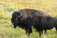 ` För buffel för bison` amerikansk i Yellowstone arkivfoton