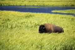 ` För buffel för bison` amerikansk i Yellowstone royaltyfri fotografi