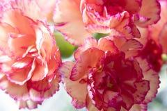 för bukettkort för bakgrund härlig trädgård för blommor för nejlikor Royaltyfri Fotografi
