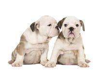För bulldoggvalpen för två som gullig brunt och vitt engelska hundkapplöpningen tillsammans sitter en som ser kameran en som ser  Arkivbilder
