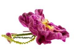 För burgundy för garnering härligt beslag blomma på huvudet Arkivbild