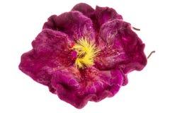 För burgundy för garnering härligt beslag blomma på huvudet Arkivfoton