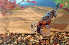 för calicoöga för 700032 bubbla guldfisk Arkivfoton