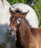 För Camargue för stående vitt föl häst camargue de regionala parc france provence En utmärkt illustration Royaltyfria Foton