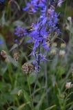 För Camas för Camassiaquamashblått blomma Dreamscape för berg kaskad Arkivfoto