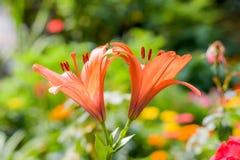 För Campsis för vinranka för trumpet som två eller för trumpetranka blomma radicans är bekant som koklåda eller kolibrivinranka,  arkivbild