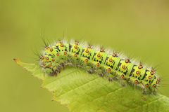 För Caterpillar för kejsaremal som en pavonia Saturnia matar på ett björnbärsbuskeblad Royaltyfri Bild