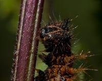för caterpillarkomma för album c polygonia Fotografering för Bildbyråer