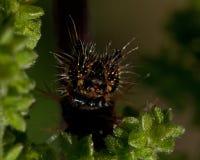 för caterpillarkomma för album c polygonia Arkivbild