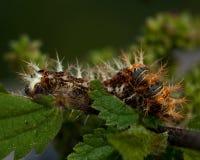 för caterpillarkomma för album c polygonia Royaltyfri Foto