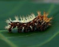 för caterpillarkomma för album c polygonia Royaltyfri Fotografi