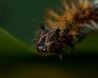 för caterpillarkomma för album c polygonia Arkivfoto